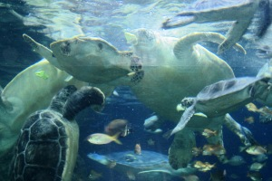 My favorite attraction -- Sea Turtles at Sea World in San Diego!