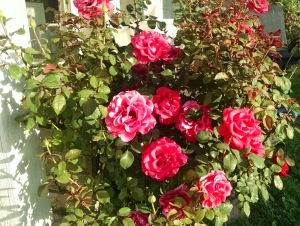Roses in my back yard. (c) 2015 Patricia j. Angus