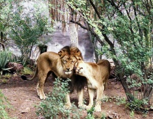 Affectionate Lions at Phoenix Zoo © 2015 Patricia J. Angus