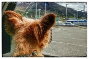 Trixie waits for the ferry ride in Ketchikan, Alaska (c) 2015 Patricia J. Angus