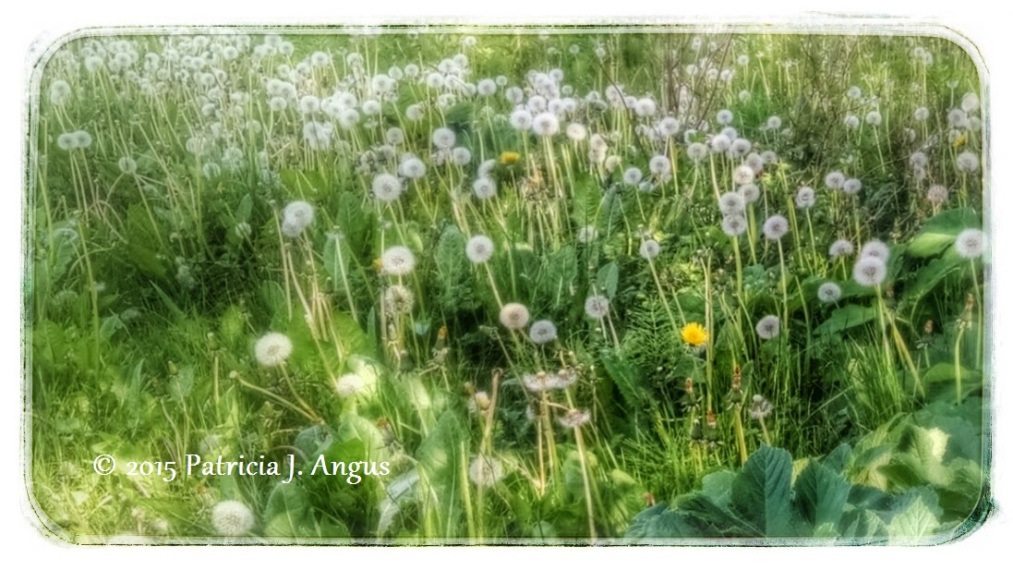 My personal favorite -- Look at that one lonely yellow dandelion. (c) 2015 Patricia J. Angus
