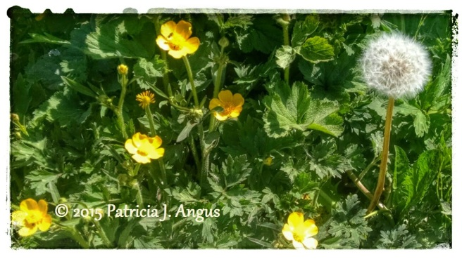 Buttercups in Bloom (c) 2015 Patricia J. Angus