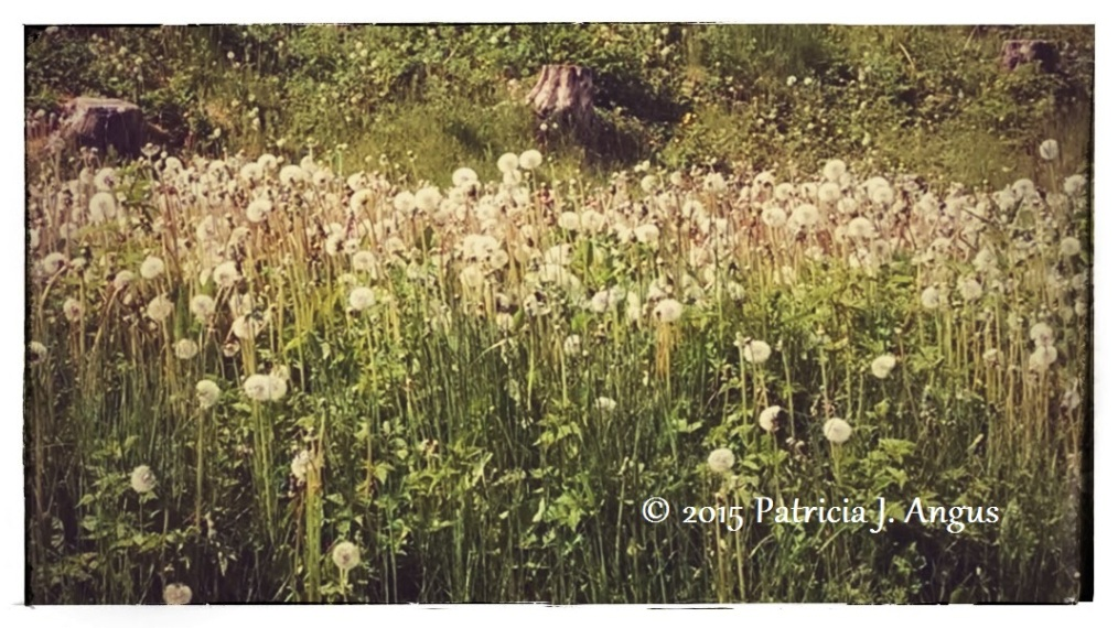 Row of White Dandies (c) Patricia J. Angus
