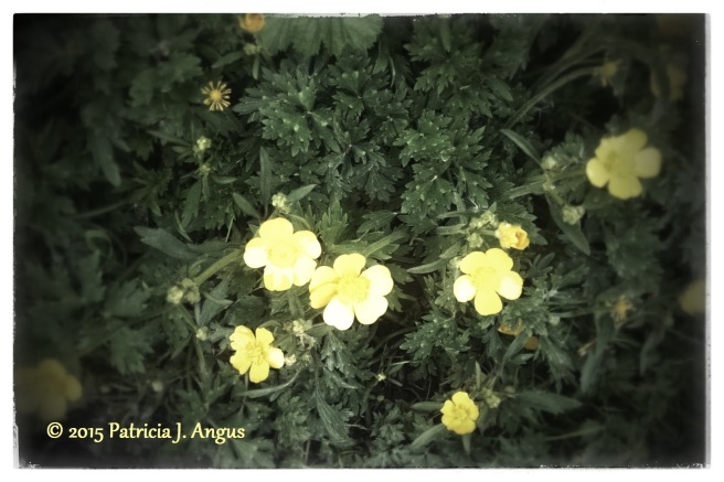 Chilled Buttercups (c) 2015 Patricia J. Angus