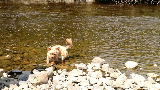 Trixie explores the river.  (c) Patricia J. Angus